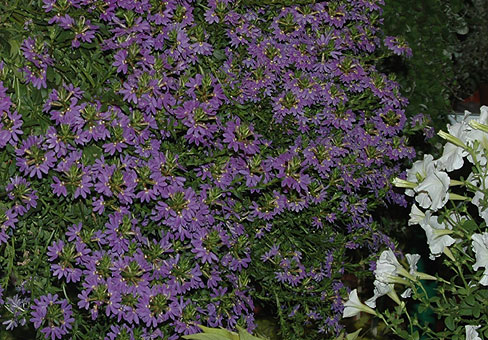 Растения ампельного типа