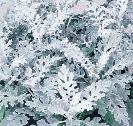 Декоративные полыни с серебристой листвой