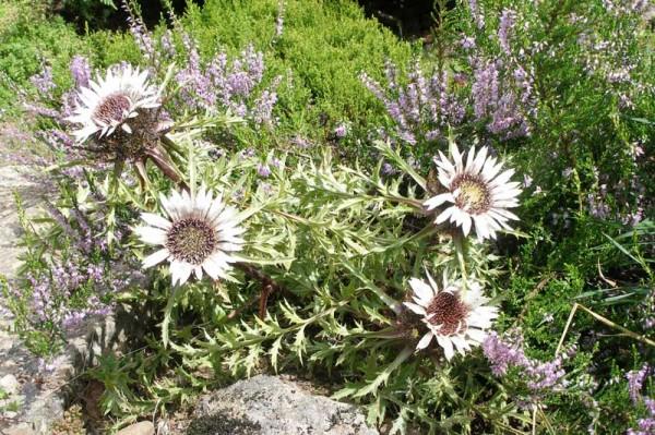 Колючник бесстебельный – для альпийской горки