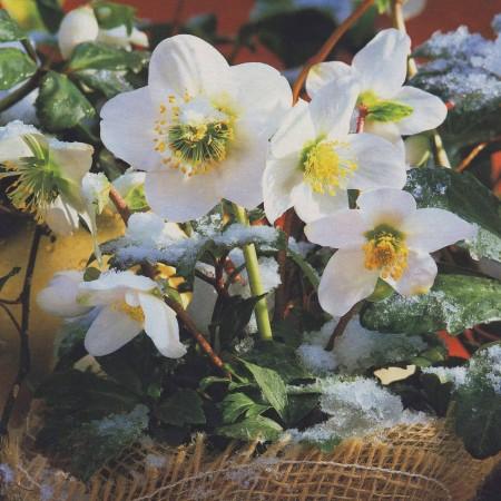 Морозник – зимний цветок