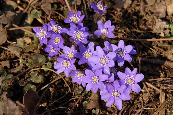 Ранние весенние цветы в саду