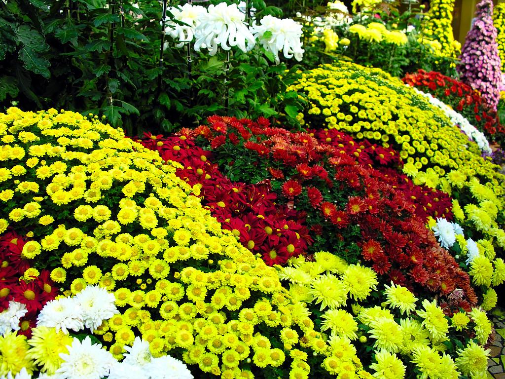 С чем сажать хризантемы в саду