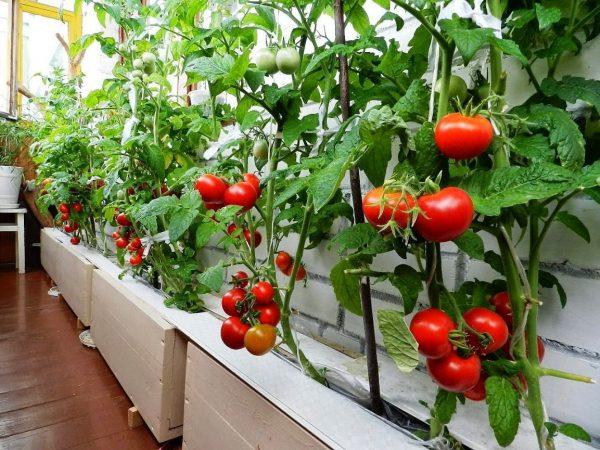 tomaty-na-balkone