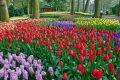 Как ухаживать за цветущими тюльпанами?