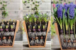 О посадке луковичных цветов: советы и рекомендации
